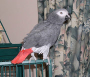 orgeous Congo African grey parrots ready